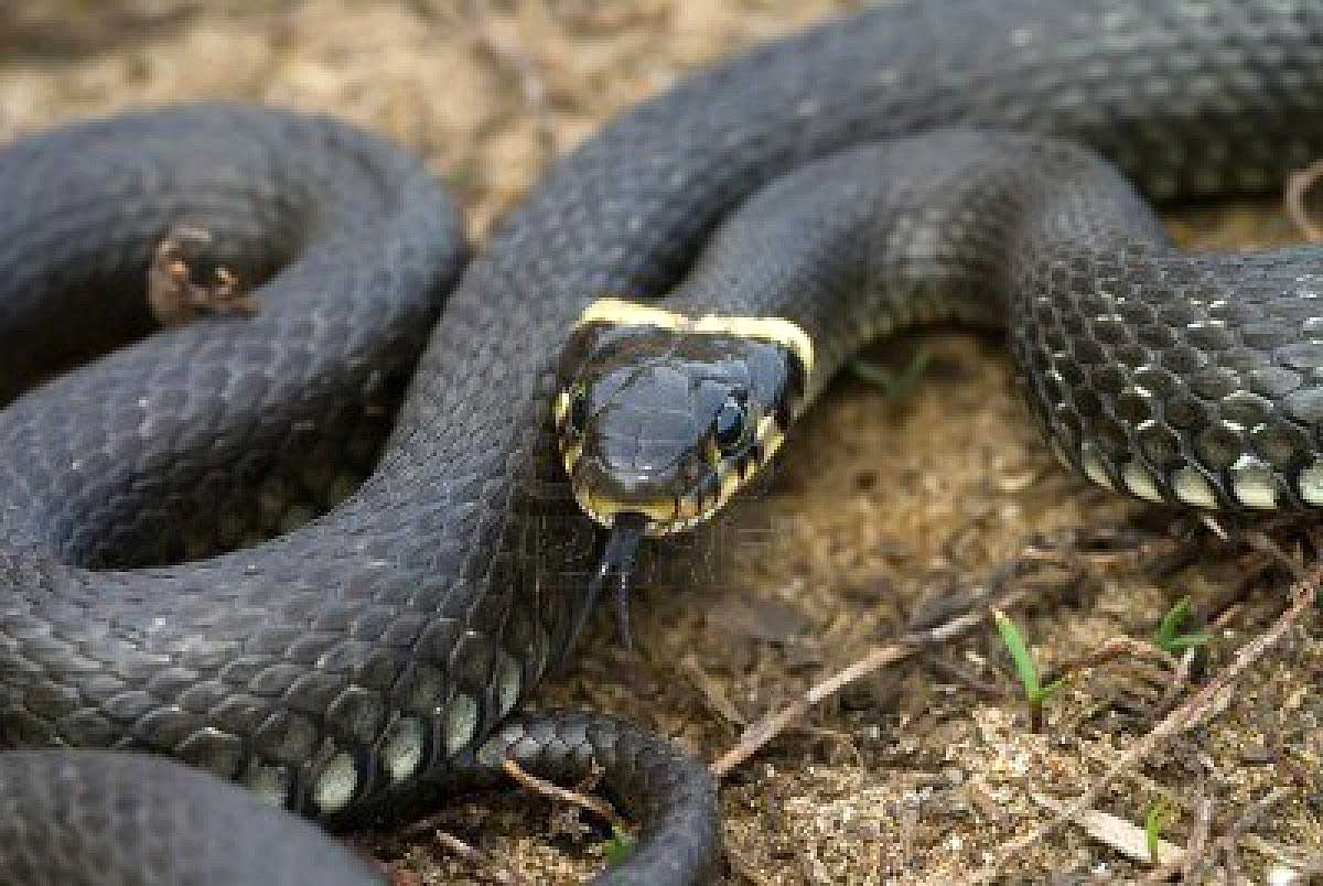 Venomous Water Moccasin or Harmless Watersnake? |Snake Like Water Animals