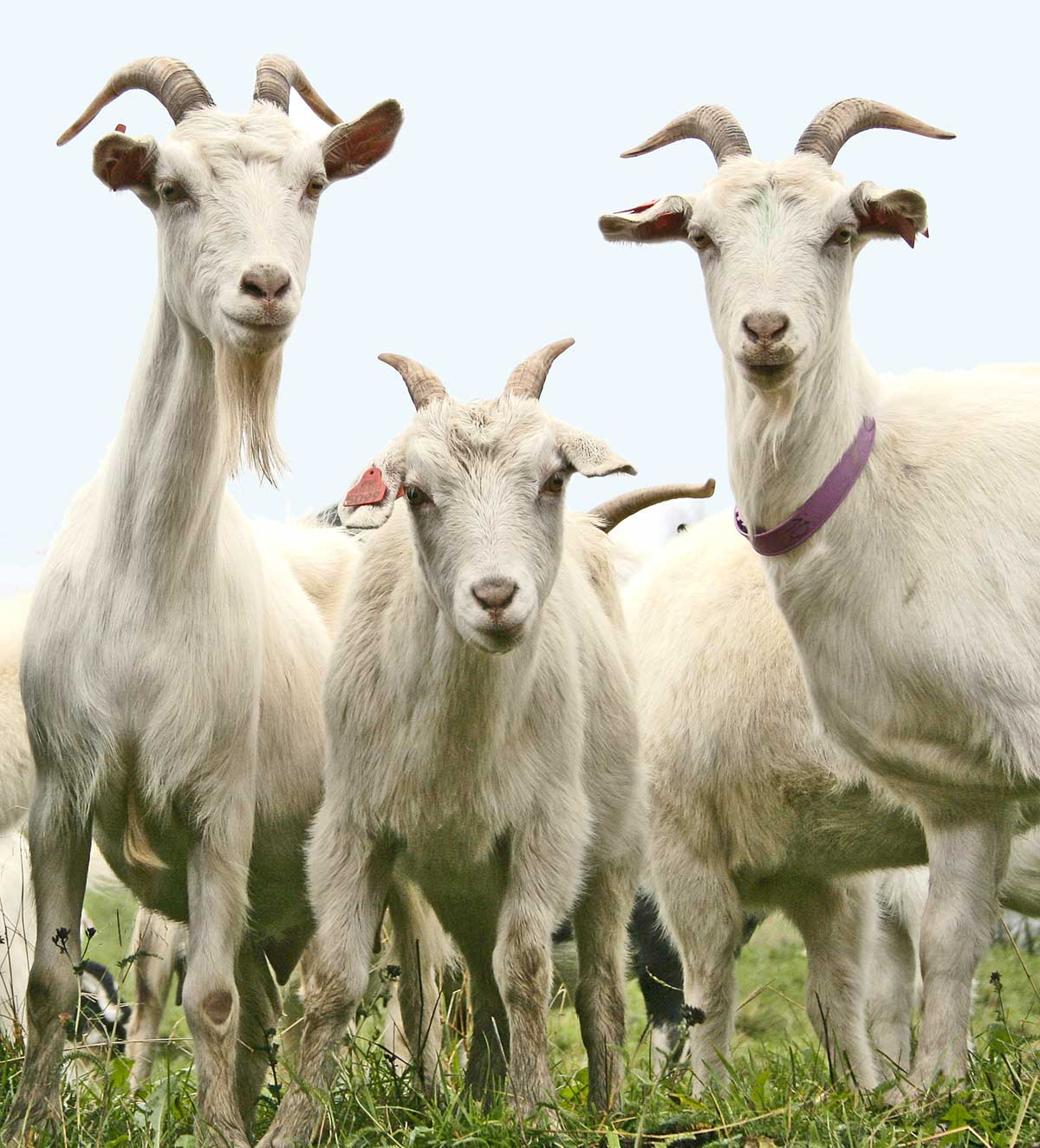 Fascinating Meaning Goat Remembering The Life Of Sri Chinmoy