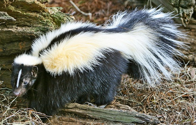 Animal Kingdom 43 - Skunk: Darkness