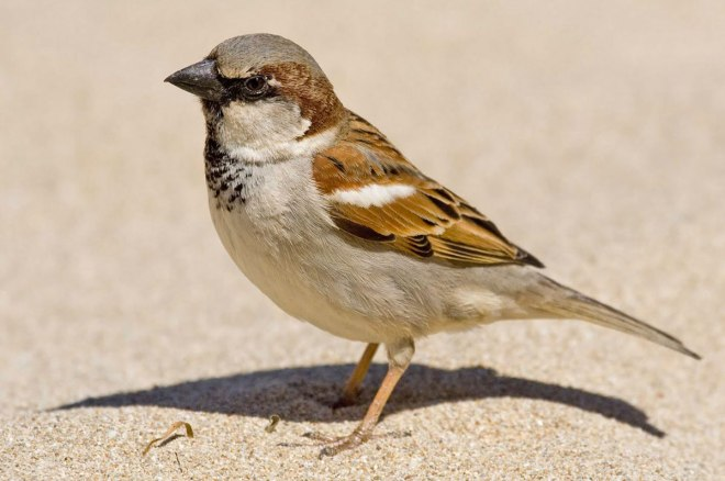 Animal Kingdom 46 - Sparrow: Secrecy