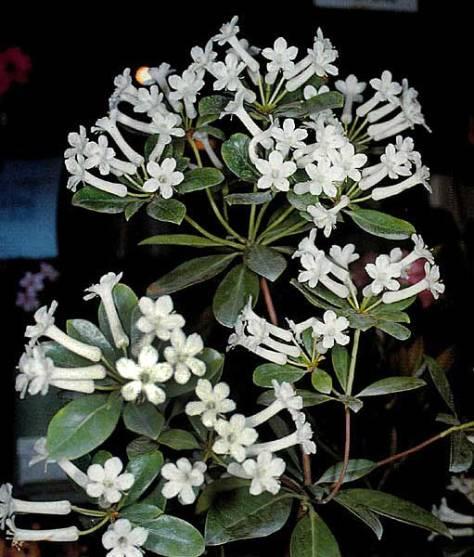 Rhododendron-sri-chinmoy